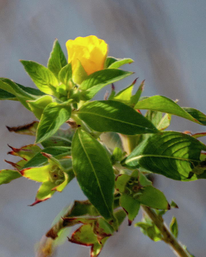 Yellow Flower - Florida by Gene Bollig