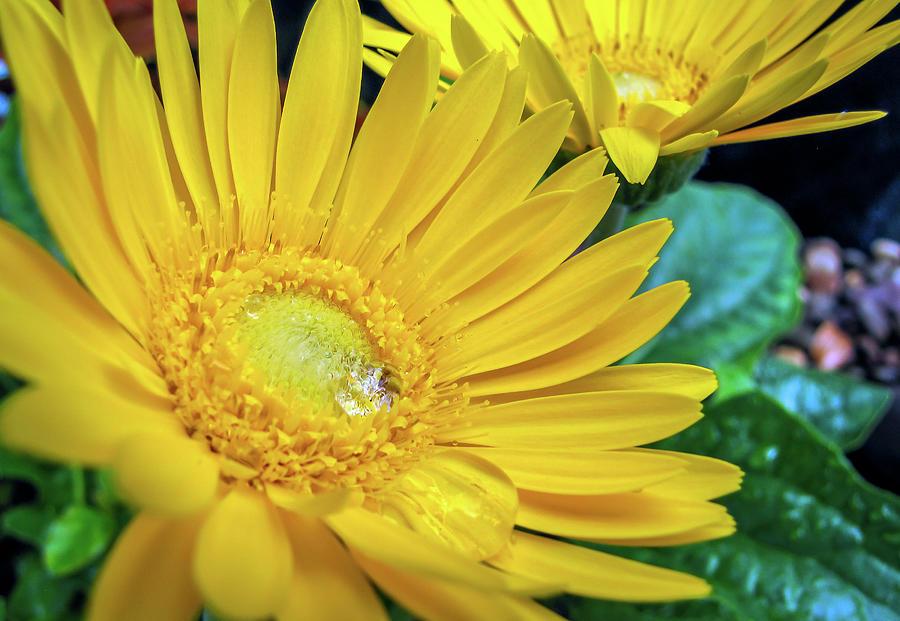 Yellow Flower Macro by R Scott Duncan
