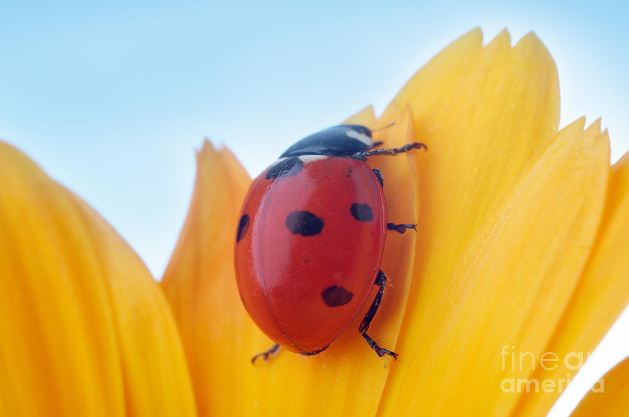 Antenna Photograph - Yellow Flower Petal With Ladybug Under by Anatoly Tiplyashin