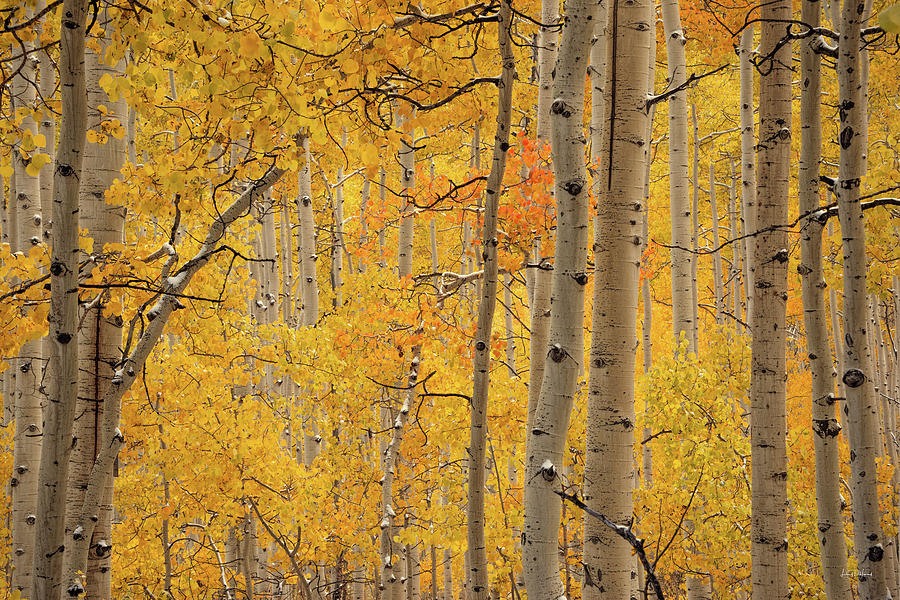 Aspen Forest Photograph - Yellow Forest by Leland D Howard