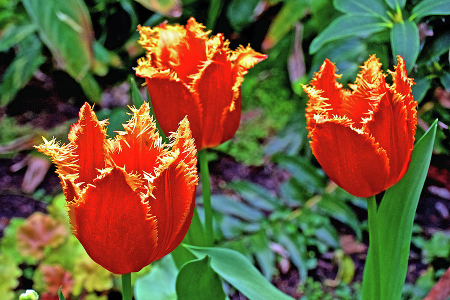 Yellow-fringed Red Tulips in Botanical Garden in Balboa Park in San Diego, California  by Ruth Hager