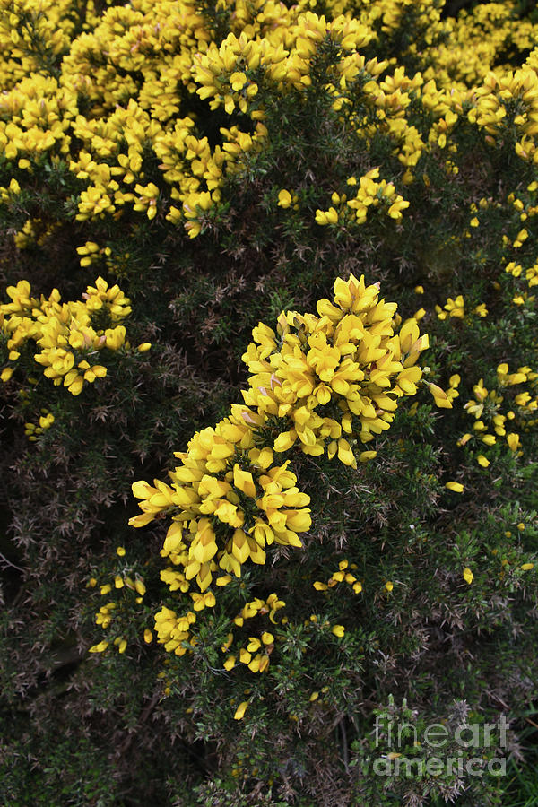 Yellow Furze Bush Blooming Among Thorny Evergreen Shrubs
