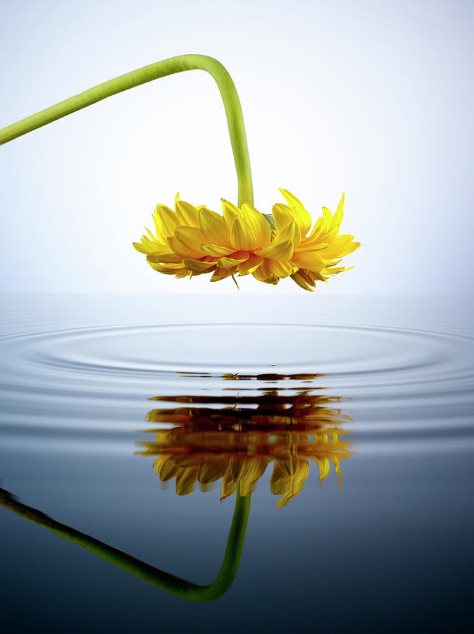 Yellow Gerber Daisy Looking Into A Pool Photograph by Chris Stein