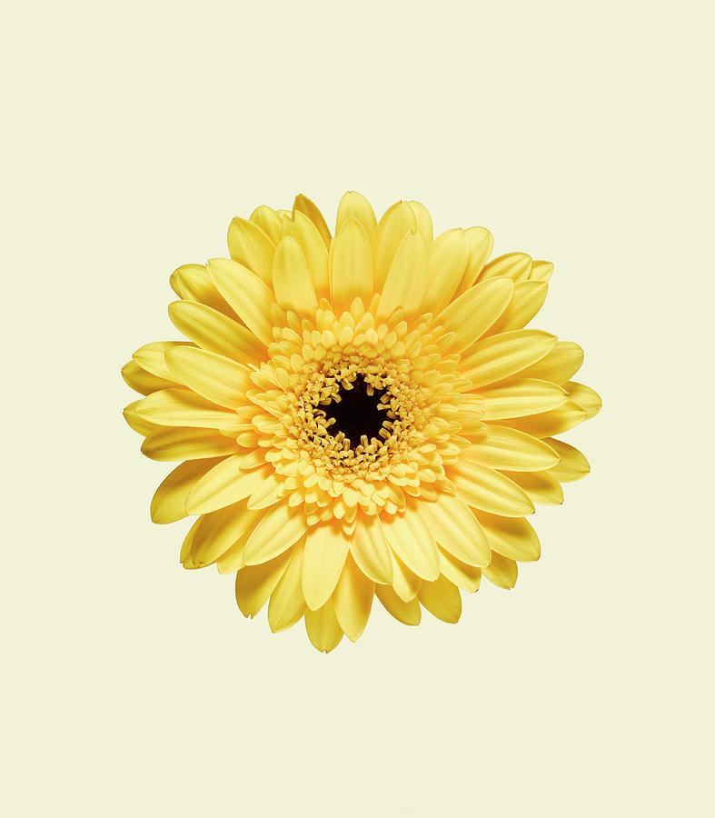 Yellow Gerbera Photograph by Adrian Burke