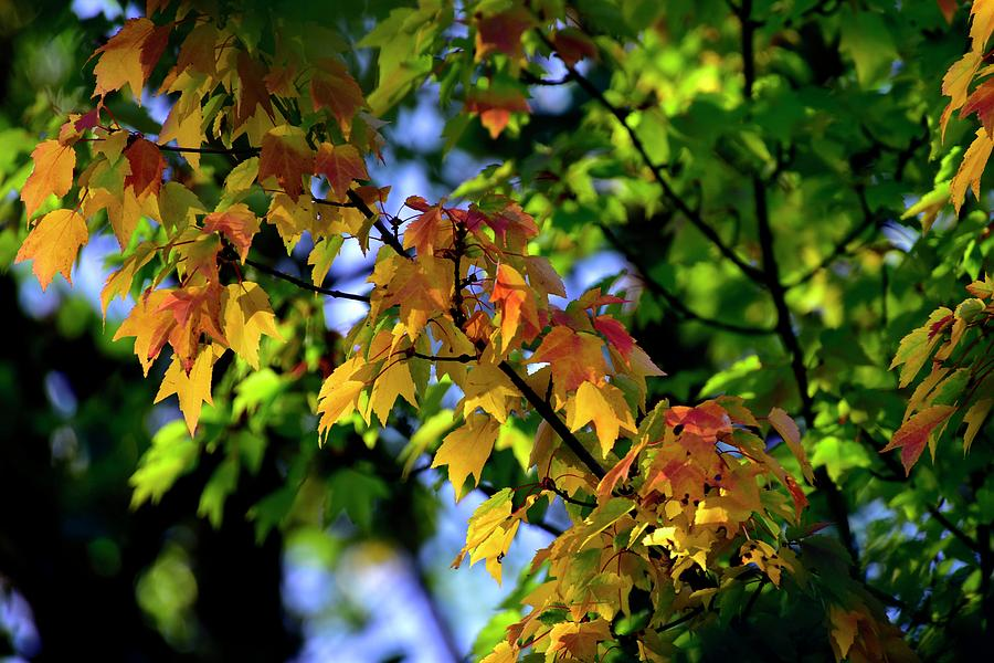 Yellow Green Red Leaves by Jerry Sodorff