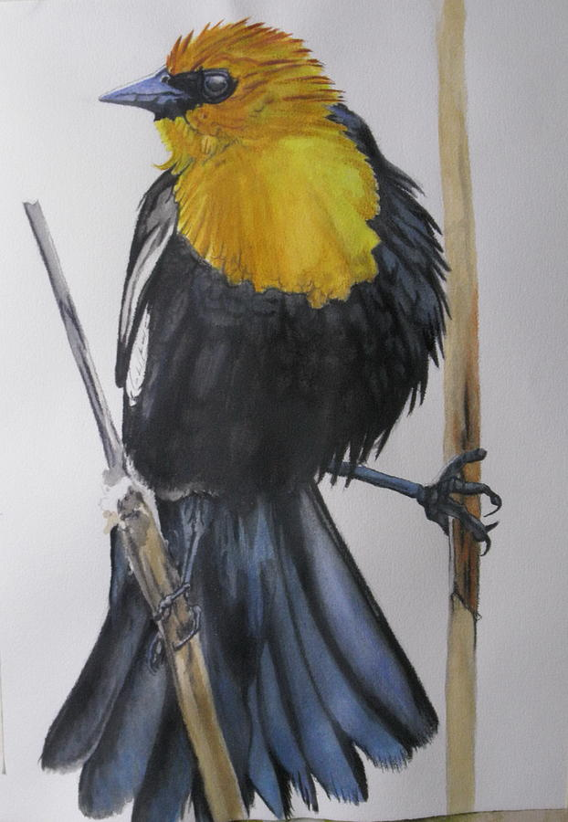 Yellow-Headed Black Bird 5 by Barbara Keith