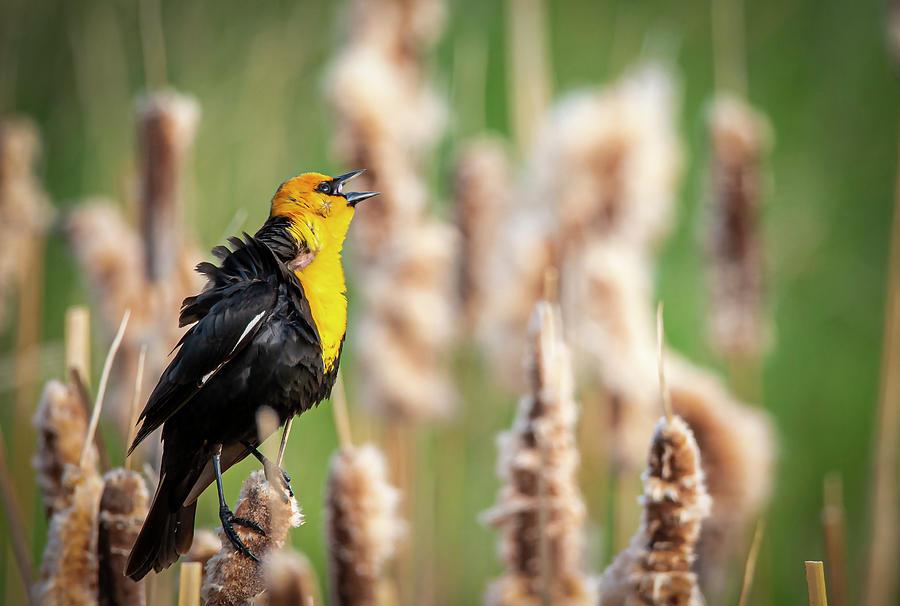 Yellow Headed Black Bird Singing by Philip Rispin