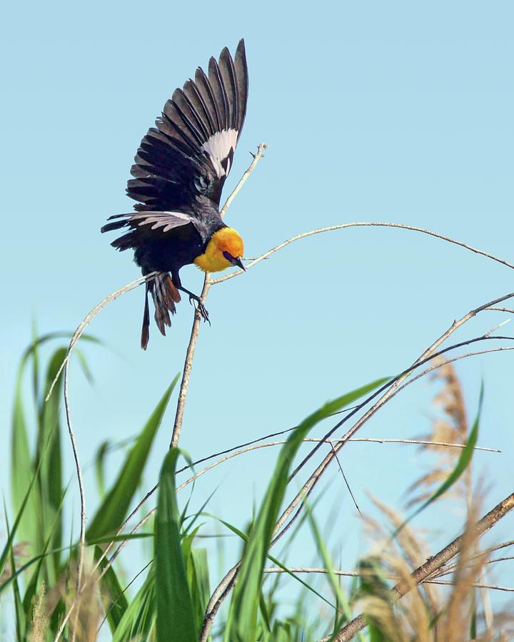 Yellow-headed Blackbird - No 1 by Nikolyn McDonald