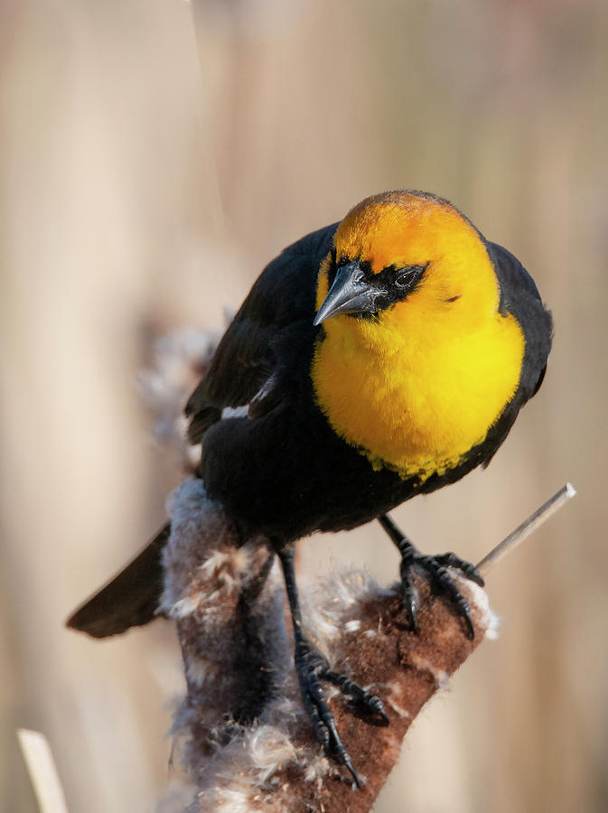 Yellow Headed Blackbird by Philip Rispin