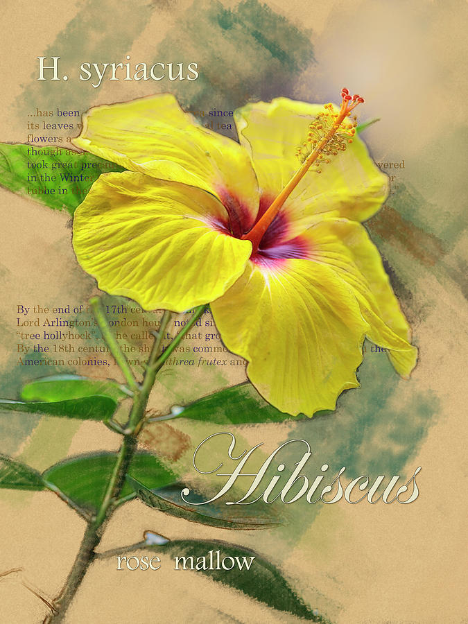 Yellow Hibiscus Graphic by Mark Mille