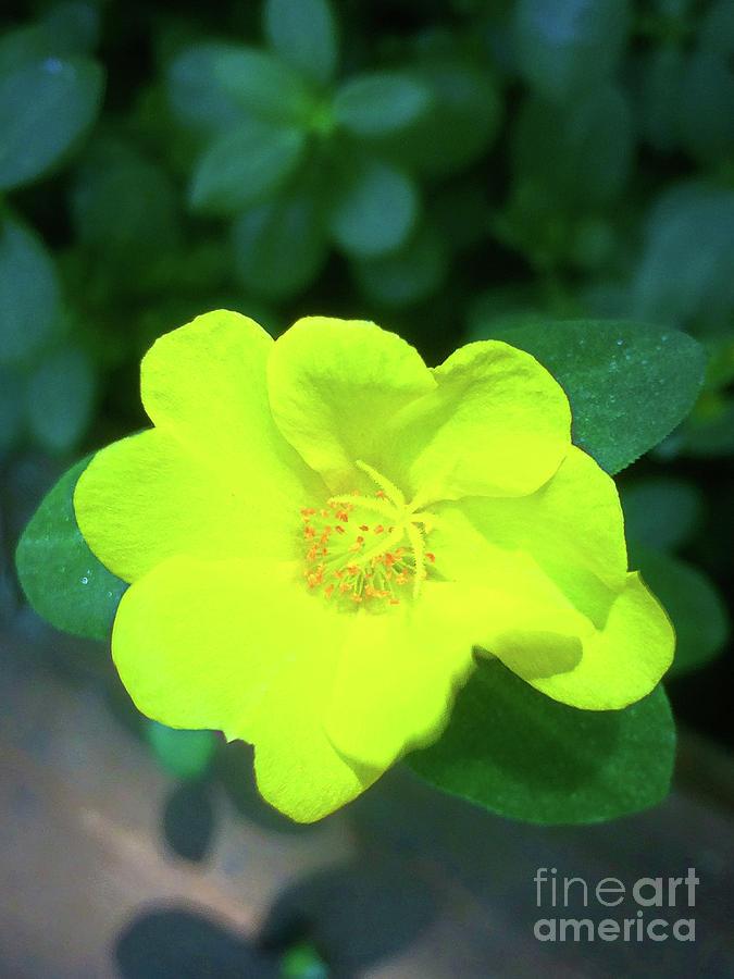 Yellow Hypericum - St Johns Wort by James Fannin
