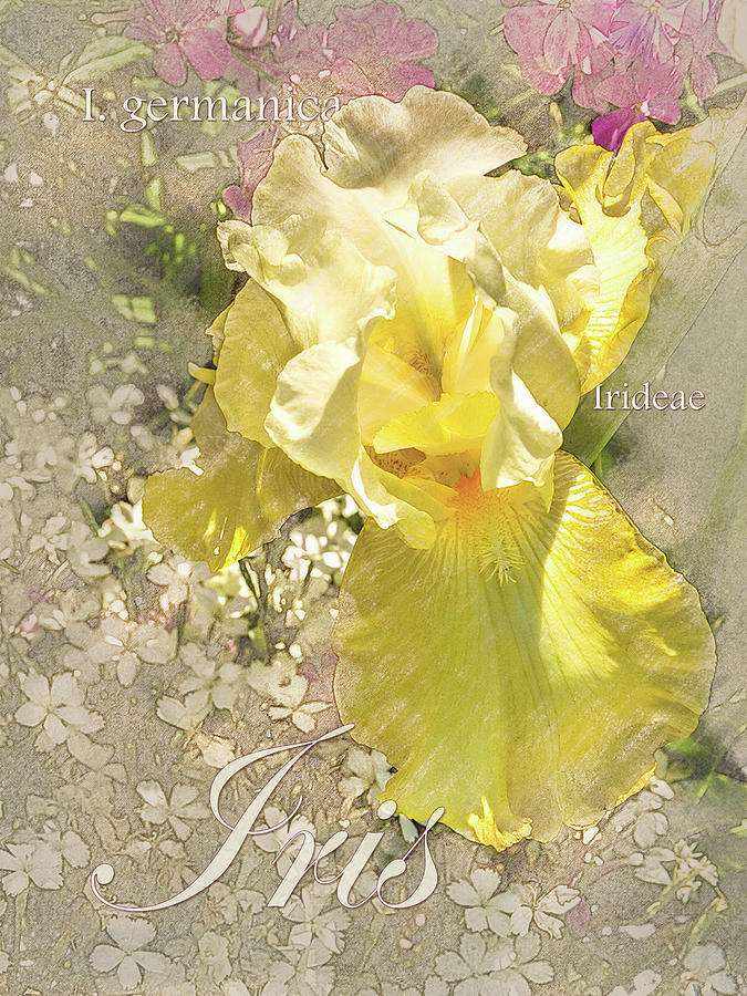 Yellow Iris Graphic by Mark Mille