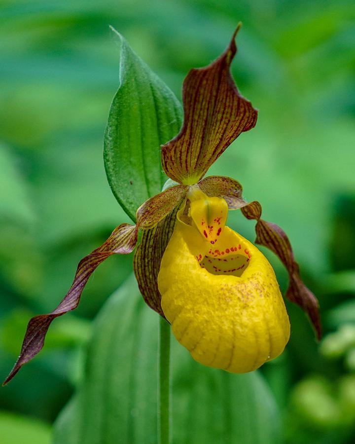 Flower Photograph - Yellow Ladys Slipper by Susan Rydberg