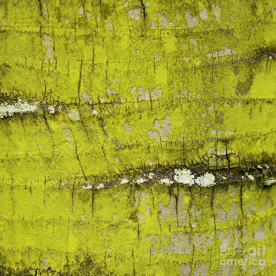 Yellow Lichen on Palm Trunk - Organic Patterns and Textures by Charmian Vistaunet