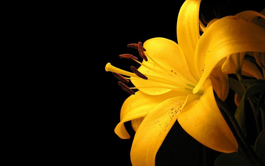 Yellow Lily Flower  by Sheila Mcdonald