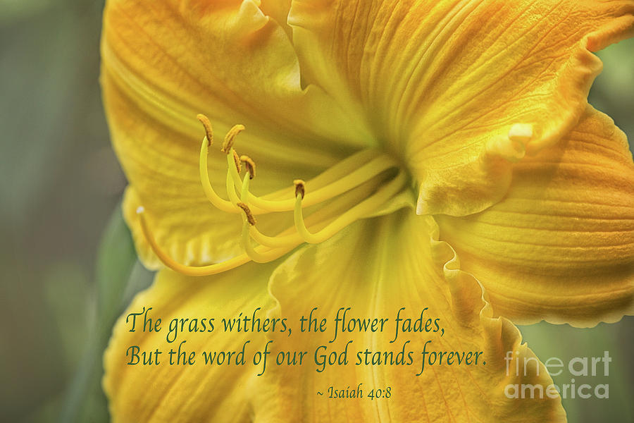 Yellow Lily Isaiah 40 by Sharon McConnell