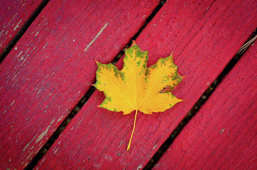Yellow Maple Leaf Against A Red Deck Photograph by Photo By Sam Scholes