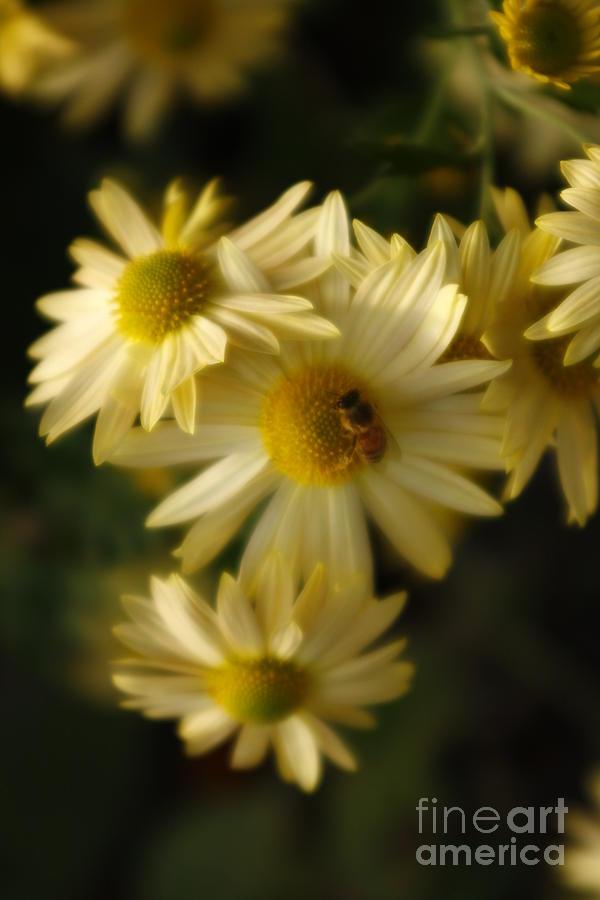 Yellow Marguerite Flowers by Marcia Lee Jones