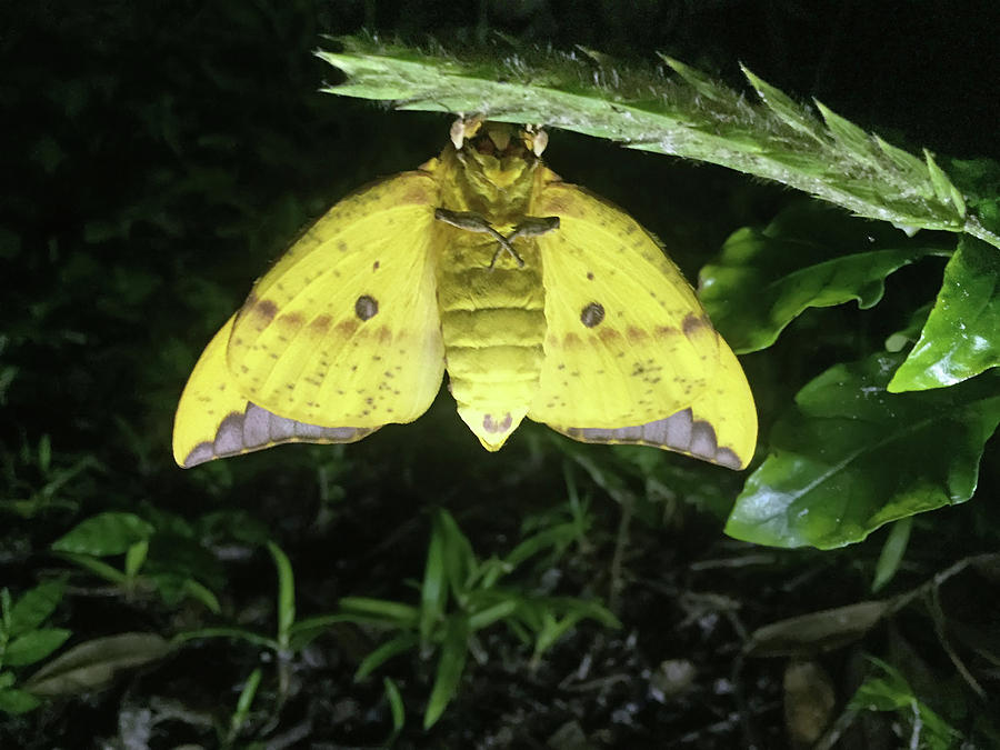 Yellow Moth by Aimee L Maher ALM GALLERY