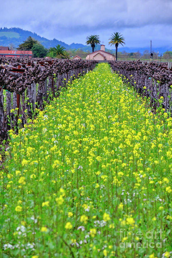 Yellow Mustard Blooming  by George Oze