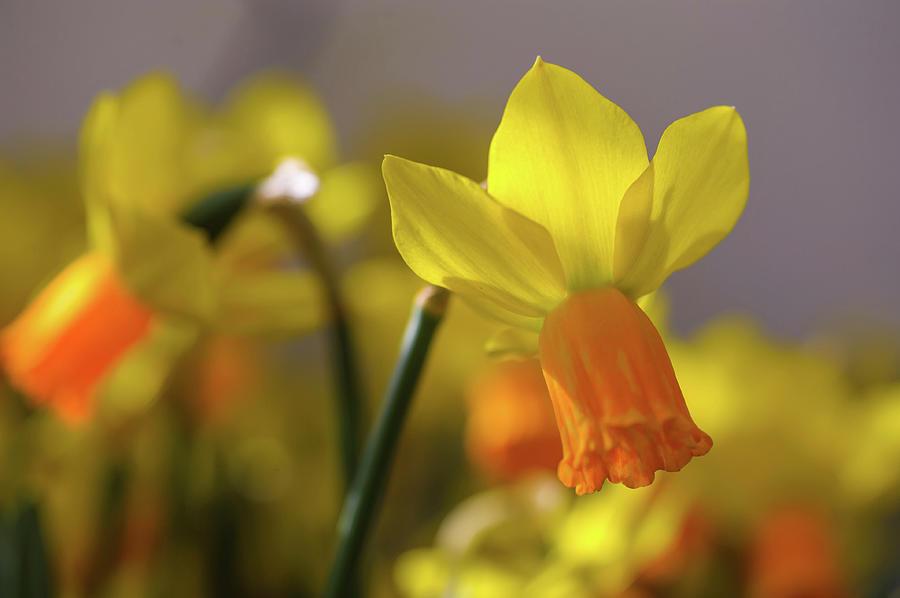 Yellow Narcissus Jetfire 1 by Jenny Rainbow