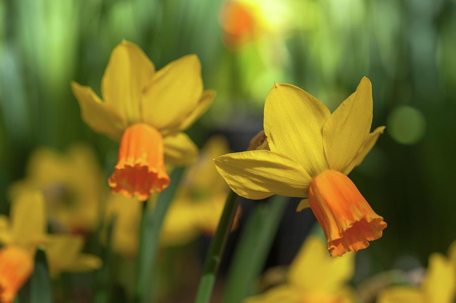 Yellow Narcissus Jetfire 4 by Jenny Rainbow