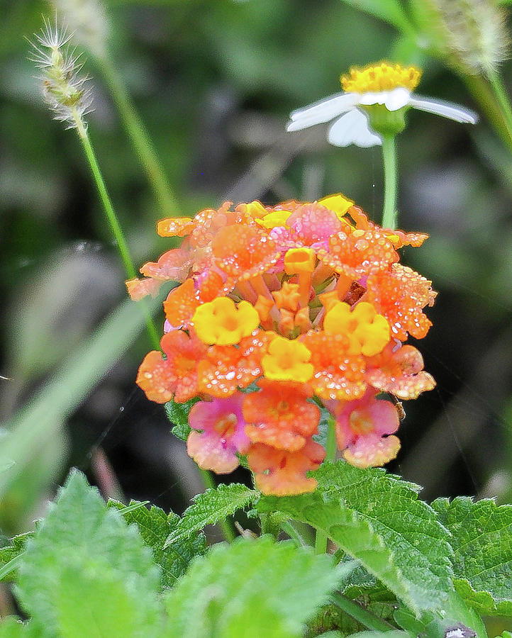 Yellow orange and pink wildflower by Gene Bollig