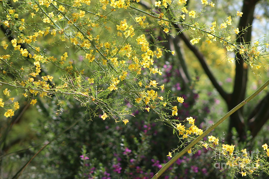 Palo Verde Photograph - Yellow Palo Verde Blossoms on Purple Texas Ranger Flowers in Background by Colleen Cornelius