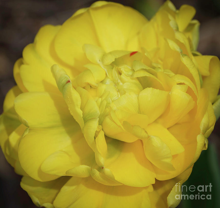 Yellow Parrot Tulip by Cathy Donohoue