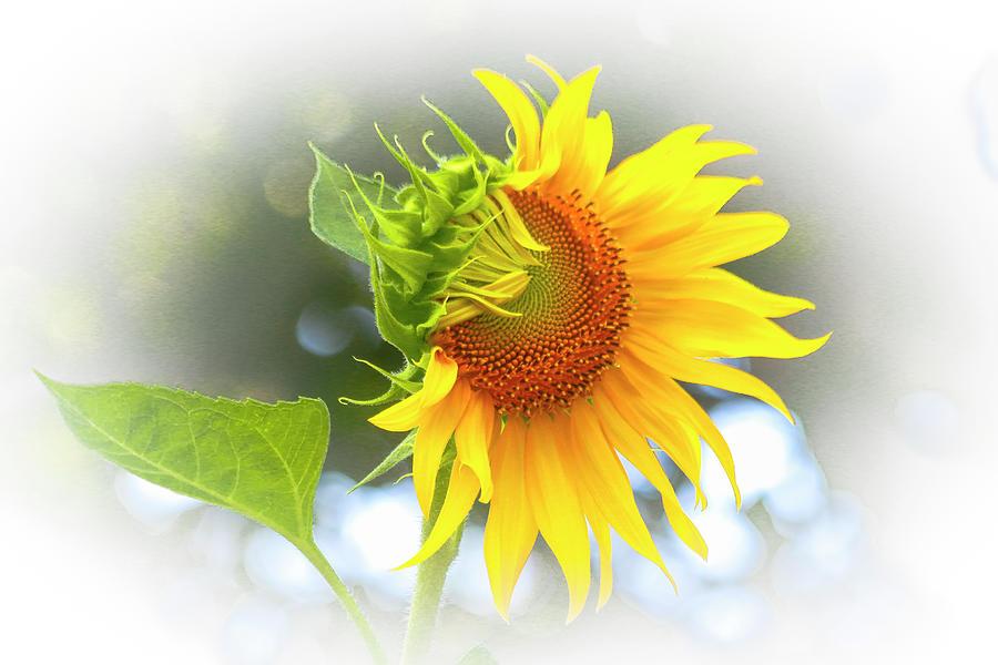 Yellow Petals Of Sunshine Photograph