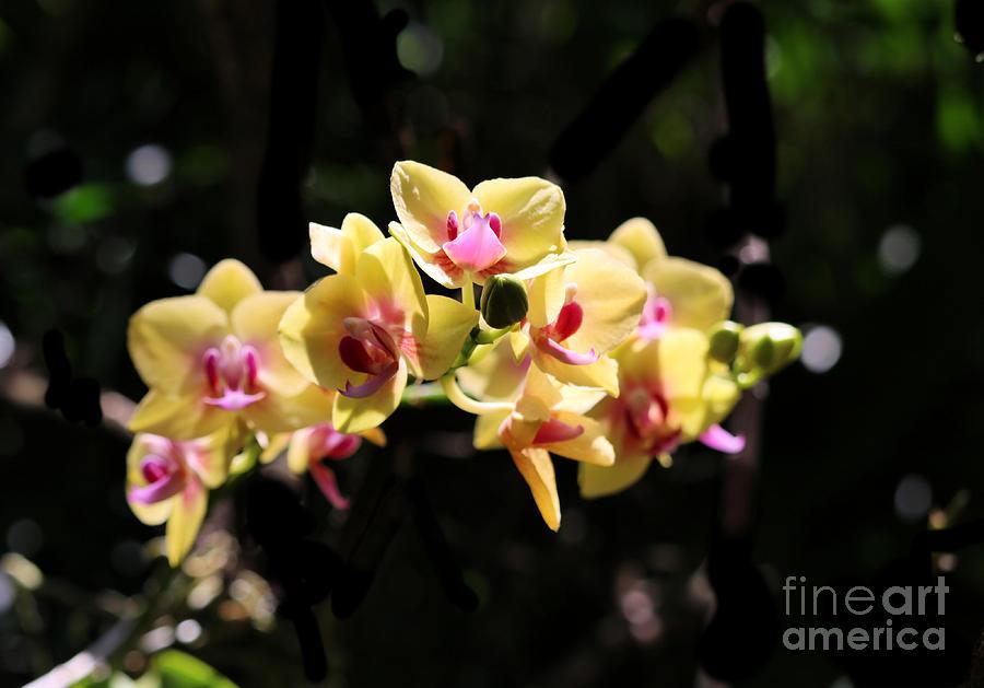 Yellow Phalaenopsis Orchid Photograph