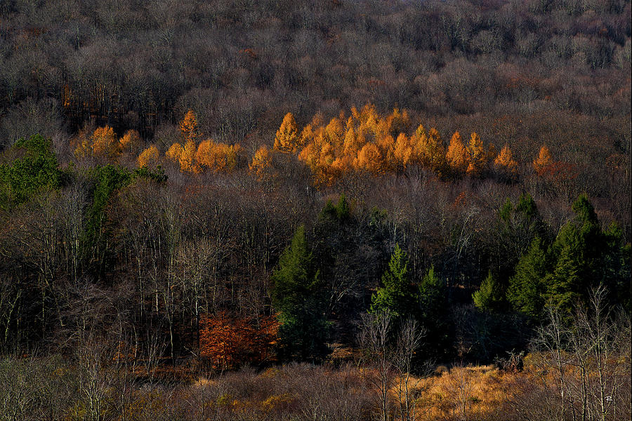Yellow Pine by Tom Romeo