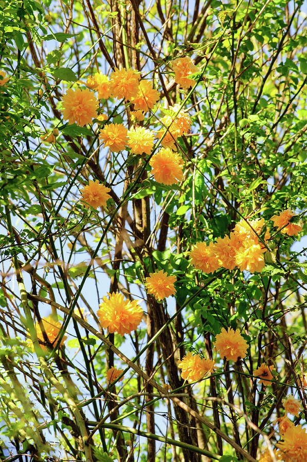 Yellow Pom Poms  of Sunshine by Tikvah's Hope