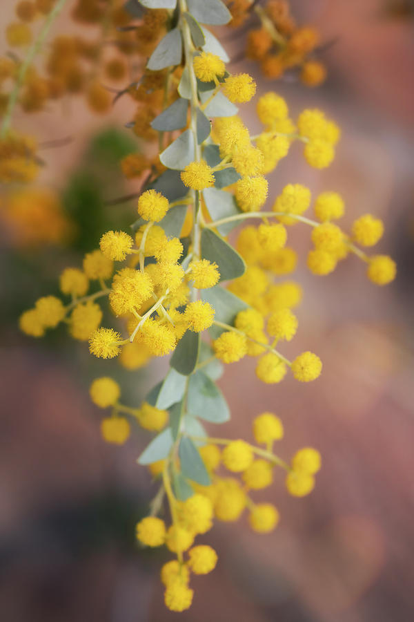 Yellow Pom Poms  by Saija Lehtonen