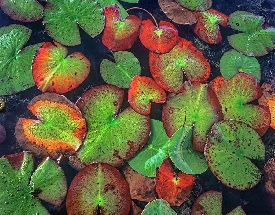 Mp Photograph - Yellow Pond Lily, Weminuche Wilderness by Tim Fitzharris