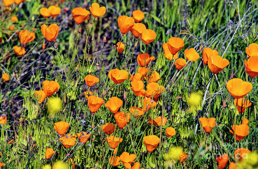 Yellow Poppies Of California Photograph by Mae Wertz