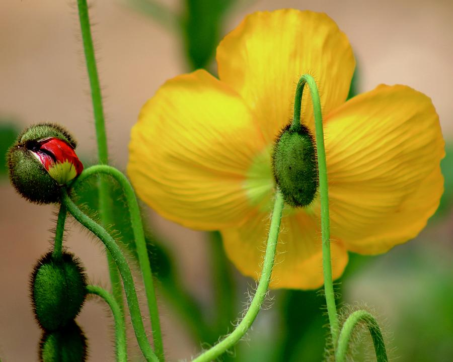 Yellow Poppy by Kevin Wheeler