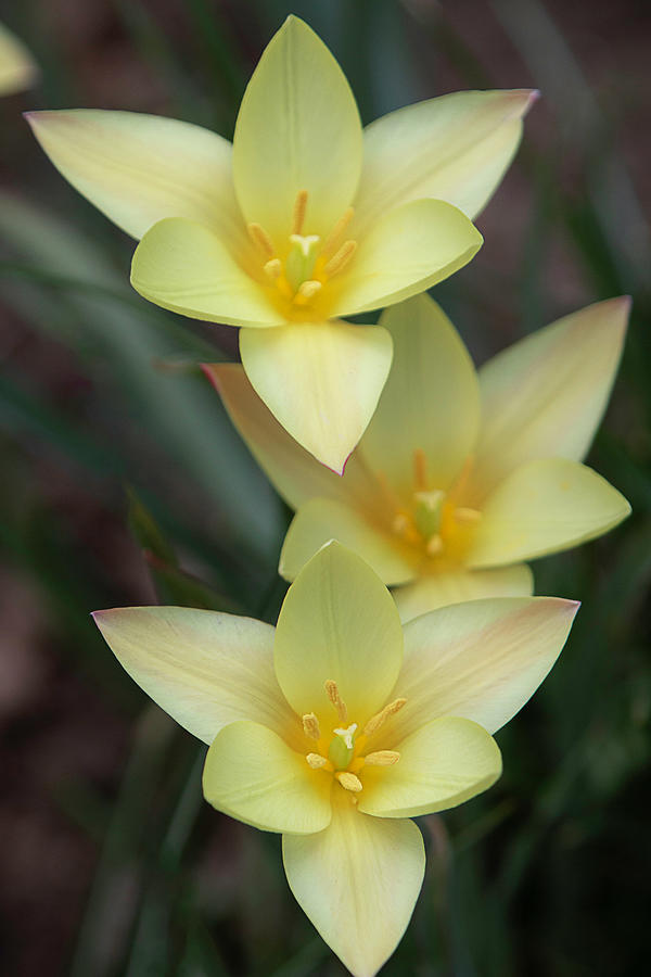 Yellow Rain Lilies by TL Wilson Photography by Teresa Wilson