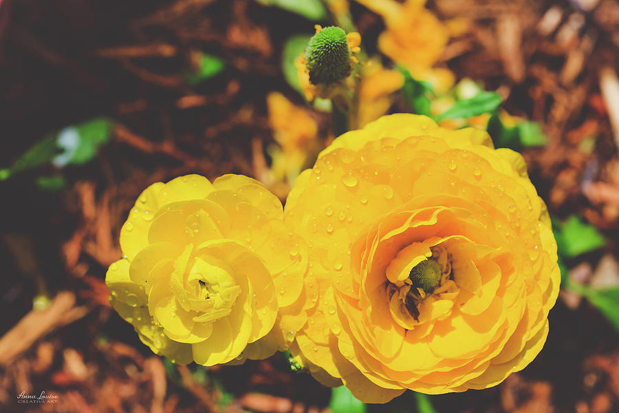 Yellow Ranunculus by Anna Louise