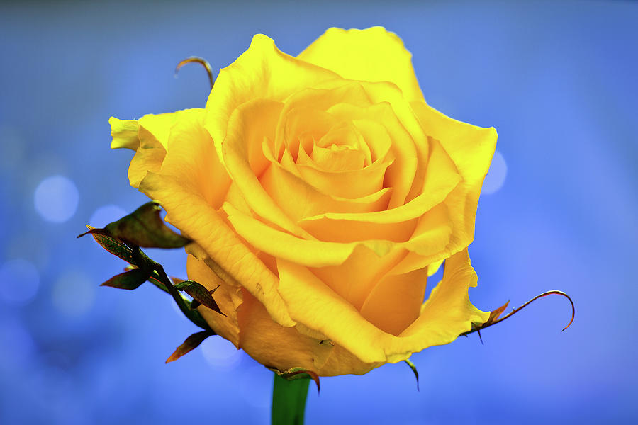 Yellow Rose Photograph by © Karmen Smolnikar