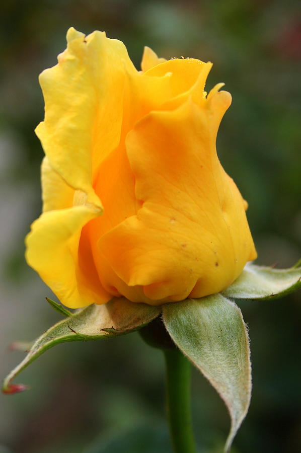 Yellow Rose Bud by Laurel Talabere