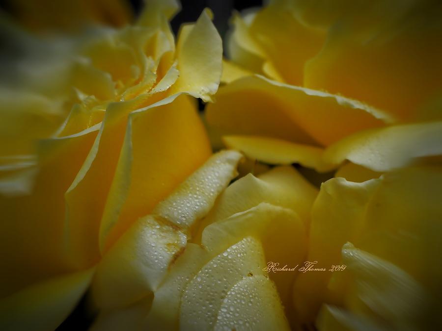 Yellow Rose Group by Richard Thomas