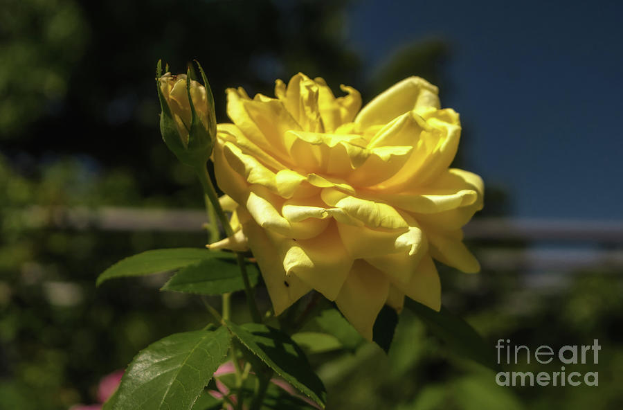yellow rose by Michelle Meenawong