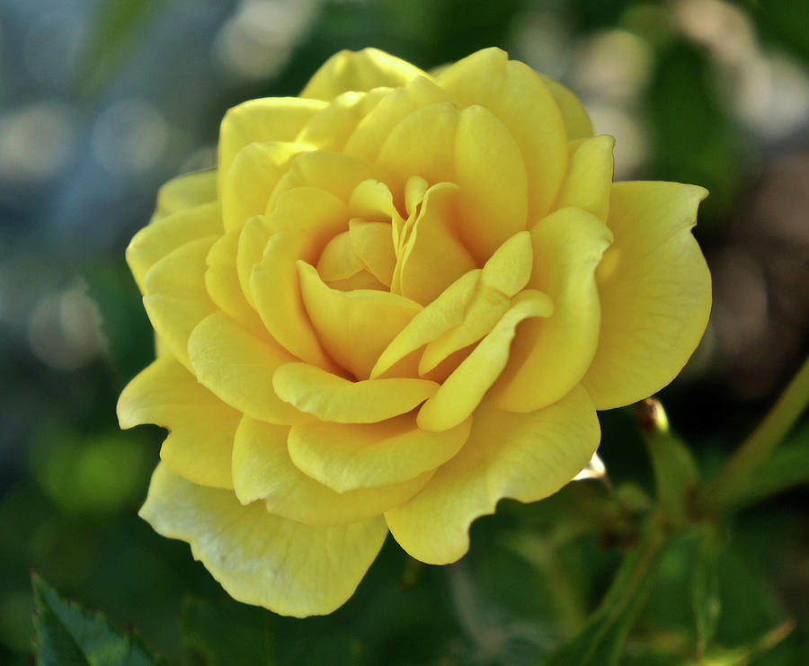 Yellow Rose of Texas by Kathy Ozzard Chism
