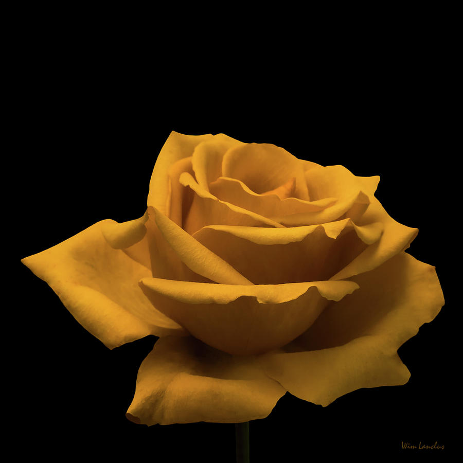 Yellow Rose on Black by Wim Lanclus
