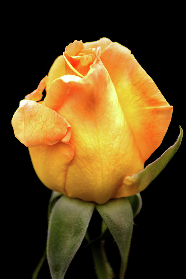 Yellow Rose Side View by Don Johnson