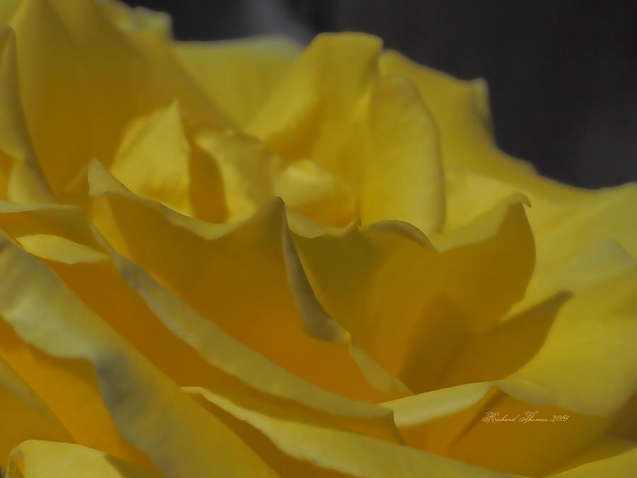 Yellow Rose Unfolded by Richard Thomas