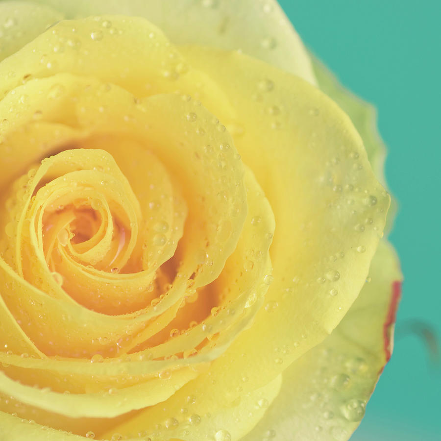Yellow Rose With Dew Drops Photograph by Maria Kallin