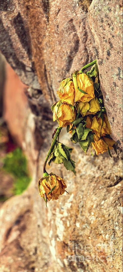 Yellow Roses Of Culloden Moor Photograph