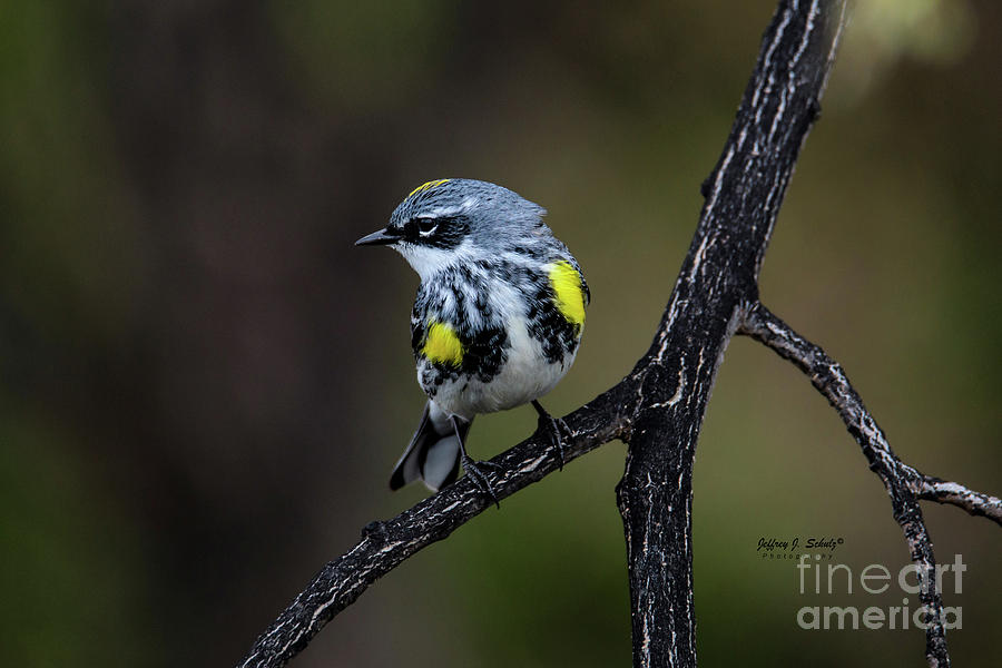 Yellow-rumped Warbler - 2 by Jeffrey Schulz